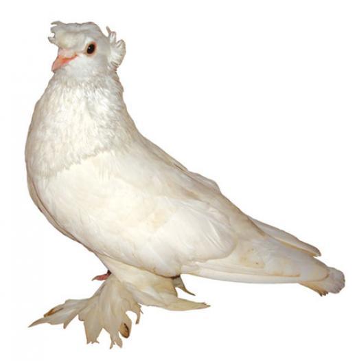 Porumbel motat de Ploiesti